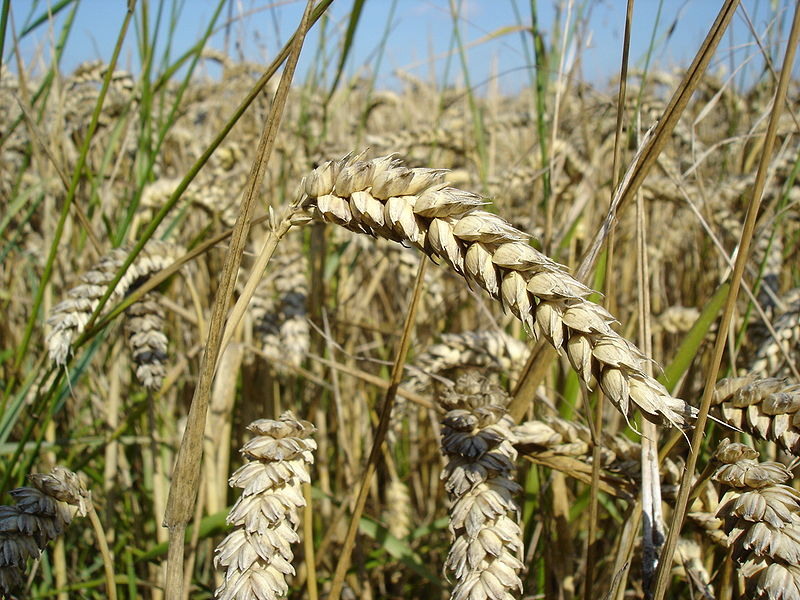 800px-Wheat_close-up.jpg hard red spring